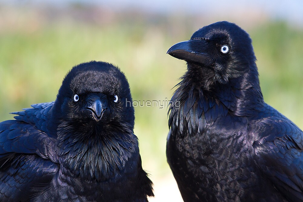 australia birds - Forest Raven by houenying