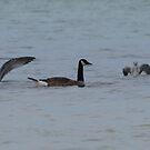 Gulls And Goose by Barry W  King