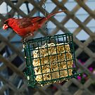 Cardinal at My Feeder by Bill  Watson