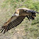 White backed vulture in flight by Anthony Goldman