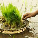 Planting Rice by Valerie Rosen