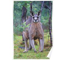 Macropus Giganteus.Eastern Grey Kangaroo Poster