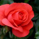 Rose  Orange by Lorrie Davis