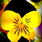 Pretty little pansy face by Irene  van Vuuren