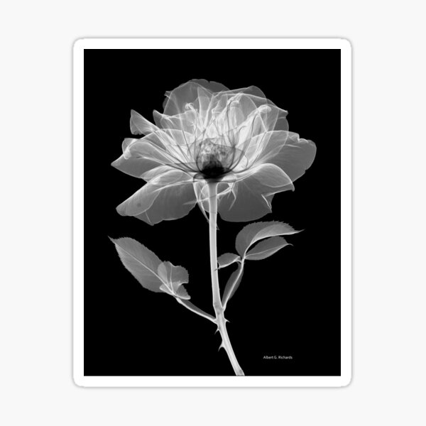 Floral Radiograph - Rose Sticker