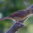 Lady Cardinal by olivera kenic