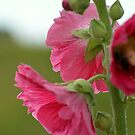Hollyhock in pink by Nicole W.