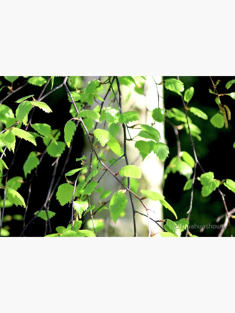 Birch tree leaves against the bark in the sunshine by chihuahuashower
