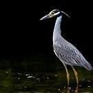 Yellow Crowned Night Heron by John Absher