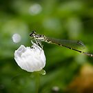Green eye dragon fly! by vasu