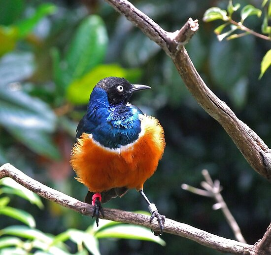African Superb Starling by RickDavis