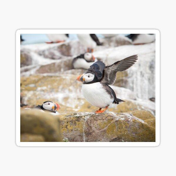 Atlantic Puffin Photography  Sticker