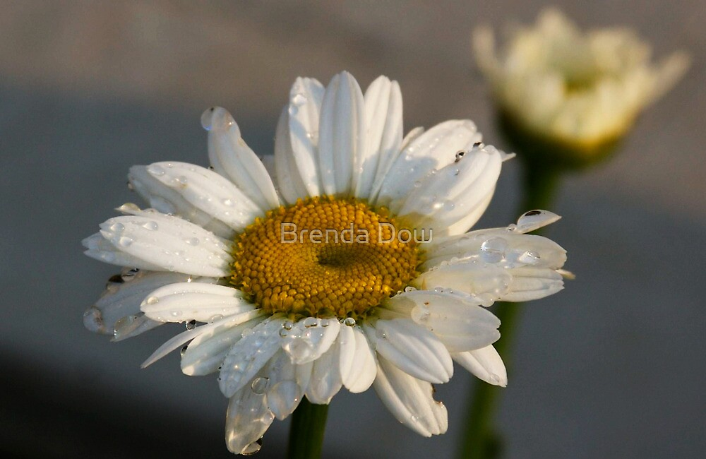 """Ode to baby """"Daisy"""" by Brenda Dow"""