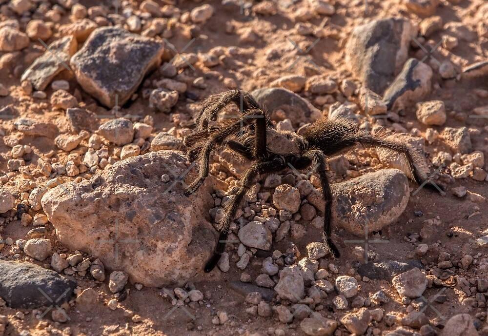 Tarantula by CarolM