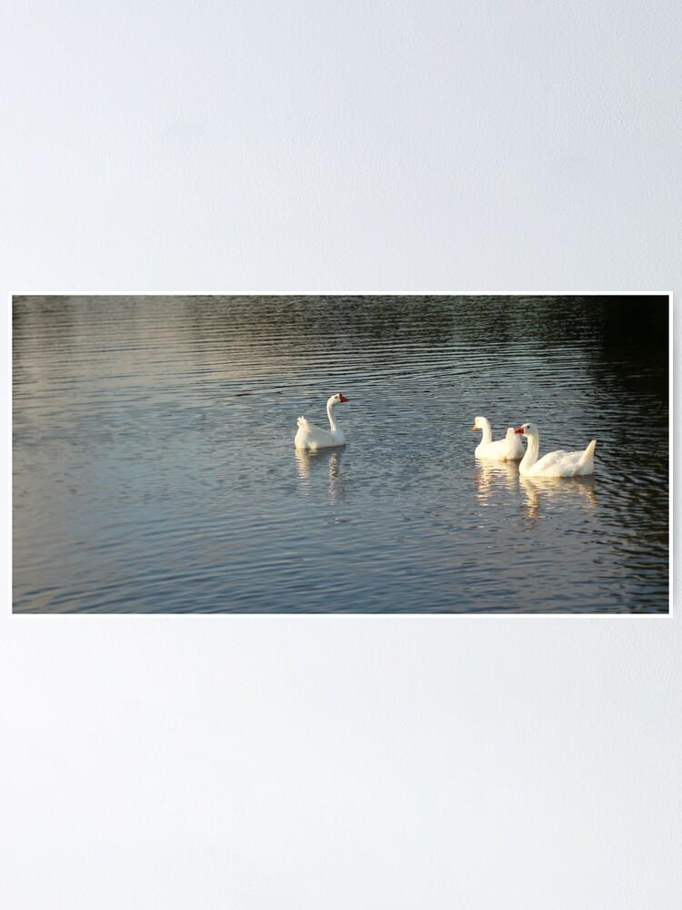 Alternate view of geese in Trojan pond, near Goble, Oregon 2 Poster