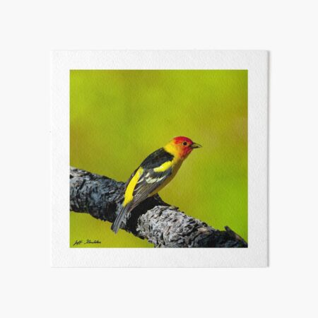 Western Tanager Art Board Print