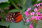 Hecale Longwing on Pink Flower - Heliconius hecale zuleika by Lepidoptera