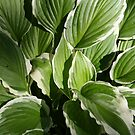 Hosta in Green and White by Laurel Talabere