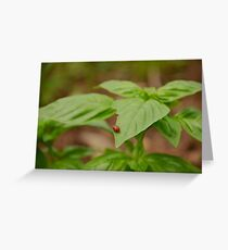 Lady Bug on Basil Leaf Greeting Card