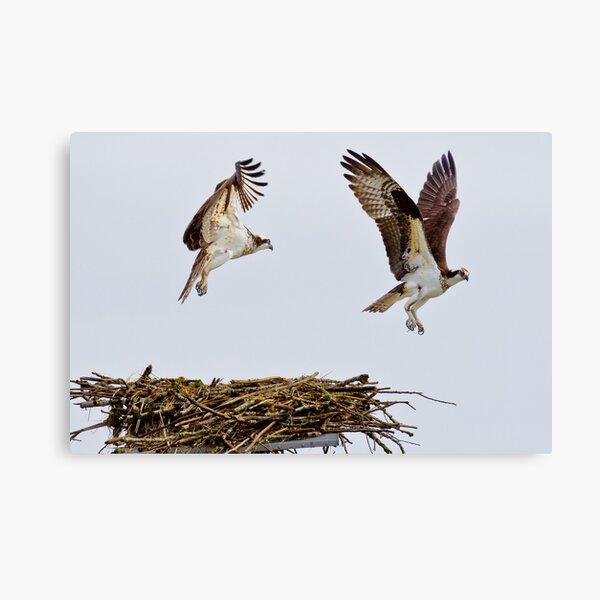 Synchronized Osprey Canvas Print