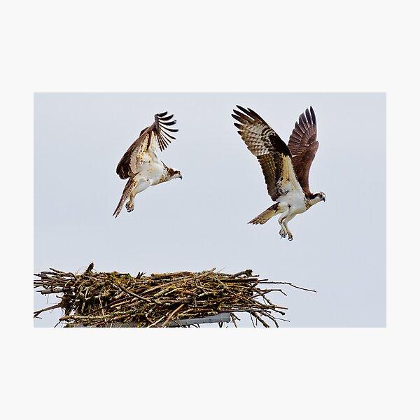 Synchronized Osprey Photographic Print