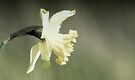 Daffodil by Nigel Bangert