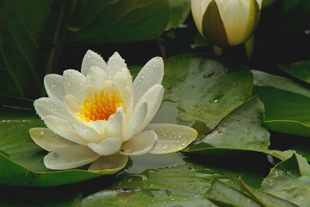 water lily in the rain by Matthew Burniston