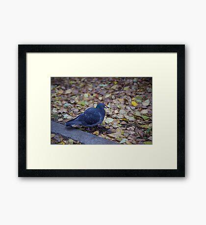 Autumn pigeon Framed Print