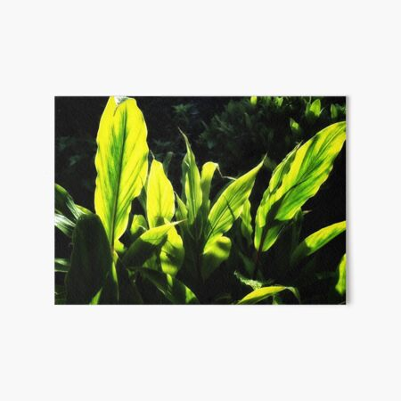 Ginger leaves in the Sun wet with rain Art Board Print
