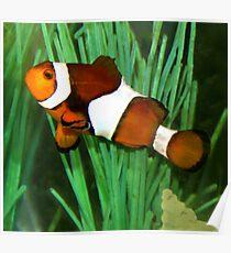 Ocellaris Clownfish (Amphiprion ocellaris) Poster