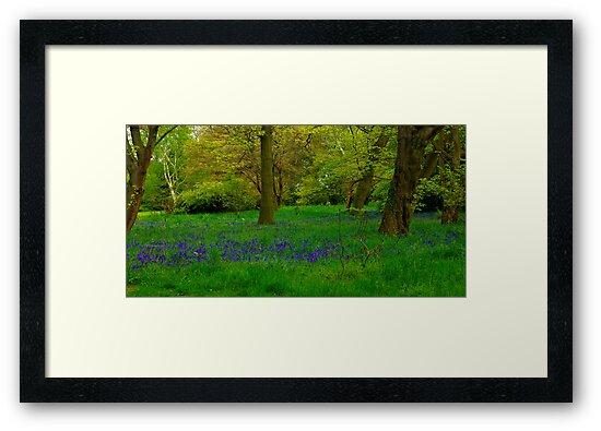 Bluebell Glade by Trevor Kersley