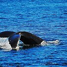 Humpback Whale Diving by joevoz