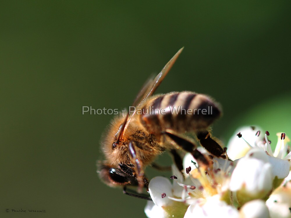 Enjoying the nectar by Photos - Pauline Wherrell