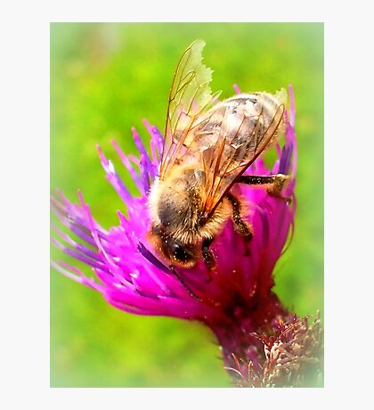 Frayed Bee on Thistle Photographic Print