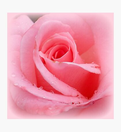 Soft pink rose with dewdrops Photographic Print