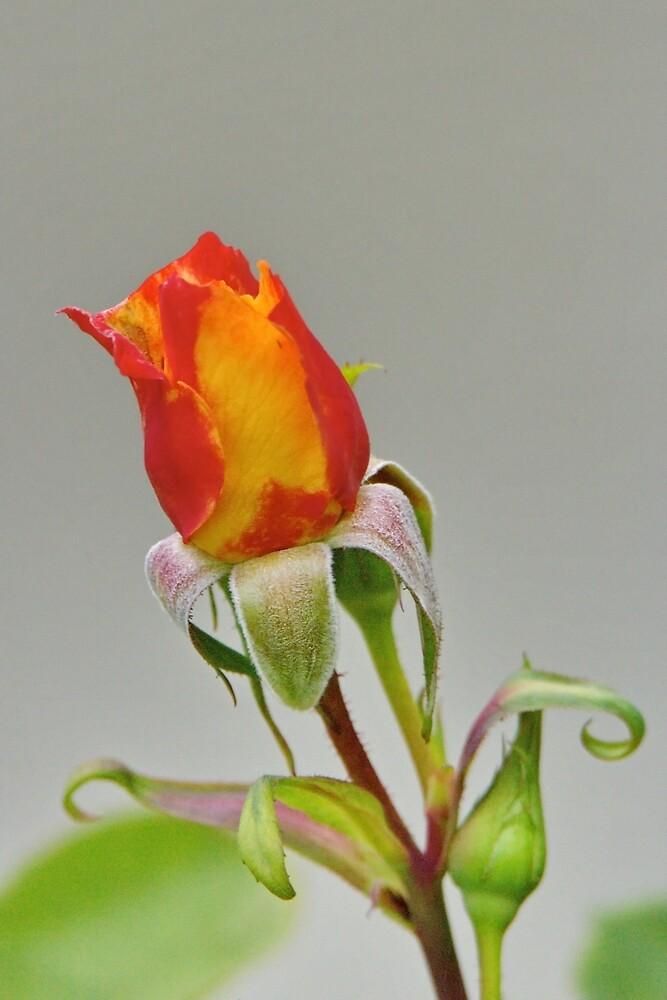 apricot rose bud by Matthew Burniston