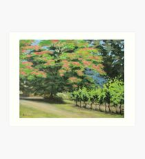 Vineyard Mimosa Art Print