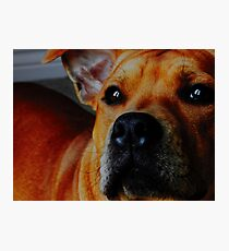 Staffordshire Bull Terrier. Photographic Print