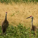 Pair of Sandhill Cranes by Thomas Murphy