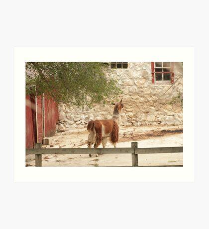 Llama in Courtyard Art Print