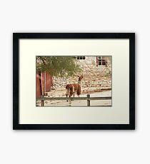 Llama in Courtyard Framed Print