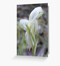 It's not easy being green. Albino Montane Leafy (Tall) Greenhood - Bunochilus montanus Greeting Card