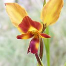 Bright Donkey. Donkey Orchid - Diruis orientis  by Lydia Heap