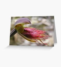 Fairy cradle. Red Beard Orchid - Calochilus paludosus Greeting Card