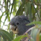 Female Gang-Gang Cockatoo - Callocephalon fimbriatum by Lydia Heap