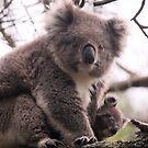 Koala Baby by PerkyBeans