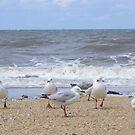 Gulls near breakers. Silver Gull - Chroicocephalus novaehollandiae by Lydia Heap