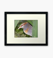 Have they gone yet? Buff-banded Rail - Gallirallus philippensis Framed Print