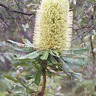 Big Banksia by Lydia Heap
