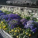 Tri-colour flowers by AmandaWitt